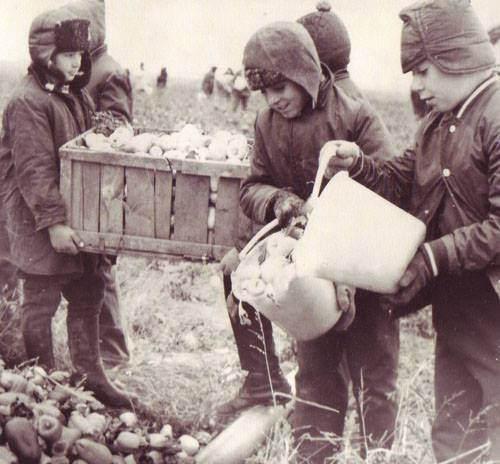 Raiul comunist: agricultura se facea cu elevii de scoala generala